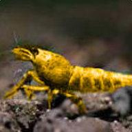 Amber Shrimp